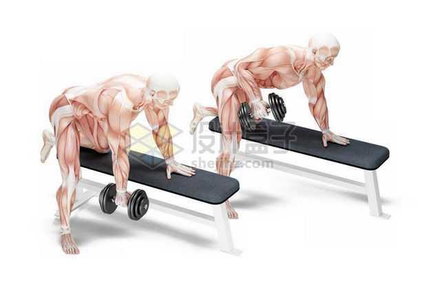 3D立体趴在哑铃凳上健身锻炼的人体肌肉组织示意图3758914免抠图片素材