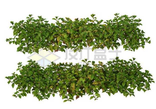 两款茂盛的绿萝园林绿植观赏植物园艺植物6143537图片免抠素材
