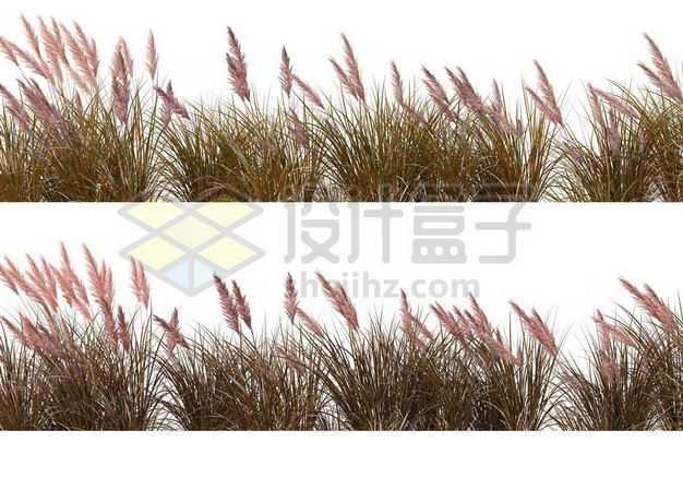两款蒲苇草丛园林绿植观赏植物园艺植物9460095图片免抠素材