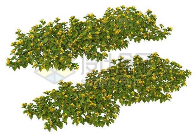两款木犀灌木丛园林绿植观赏植物园艺植物8096231图片免抠素材