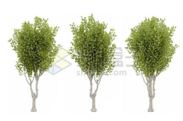 三棵郁郁葱葱的杨树新疆杨绿植园林植被观赏植物1534408图片免抠素材