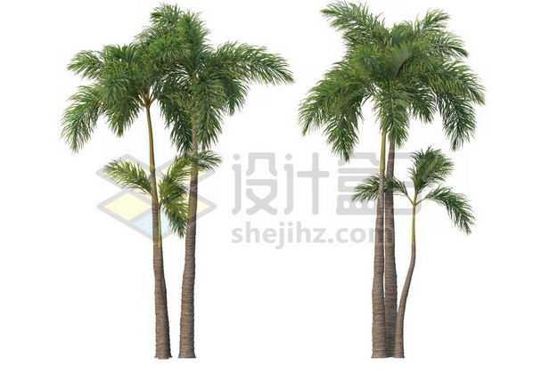 两棵郁郁葱葱的王棕大王椰子树绿植园林植被观赏植物4889950图片免抠素材