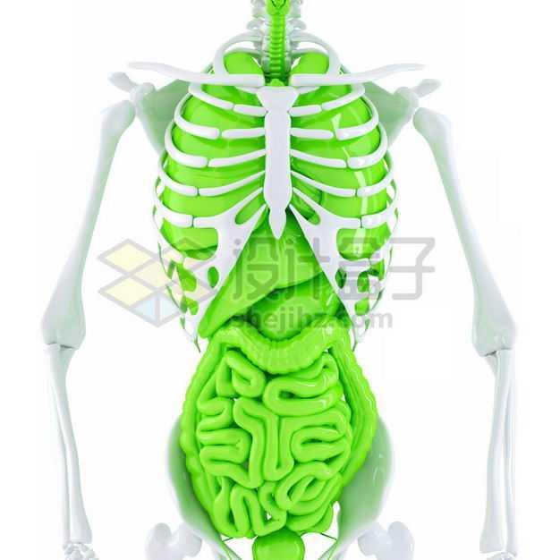 3D立体白色骨架绿色心脏肺部肝脏大肠小肠等内脏塑料人体模型3741923图片免抠素材