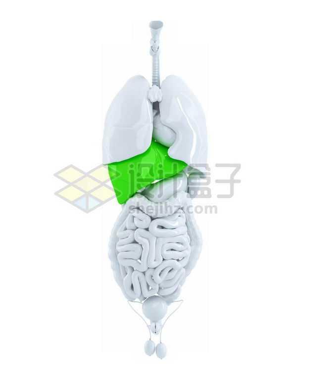 3D立体绿色肝脏和白色呼吸系统心脏肺部大肠小肠等内脏塑料人体模型7793430图片免抠素材