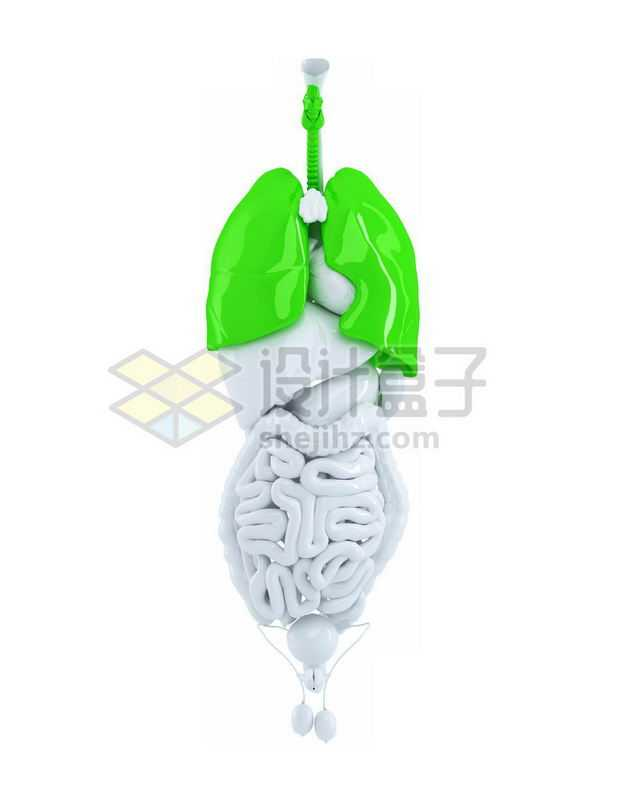 3D立体绿色肺部呼吸系统和心脏肝脏大肠小肠等内脏塑料人体模型1085758免抠图片素材