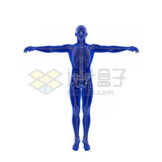 3D立体人体骨骼骨架和蓝紫色人体模型1176468图片免抠素材