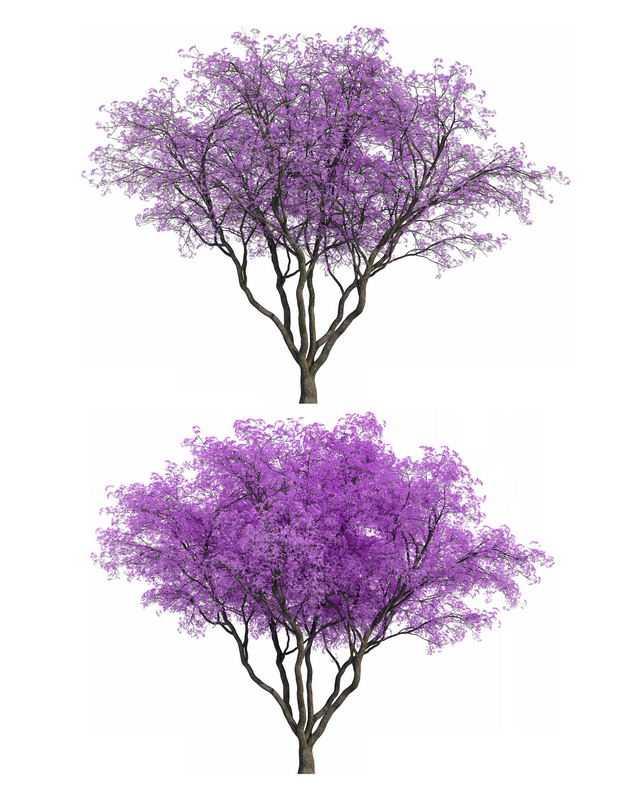 两款3D渲染的蓝花楹紫色大树绿植观赏植物1116776png图片免抠素材