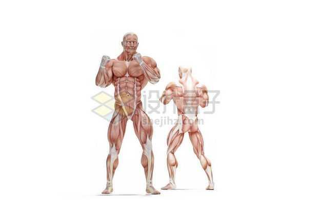 两款男性拳击动作人体肌肉模型全身肌肉组织解剖示意图6616876图片免抠素材