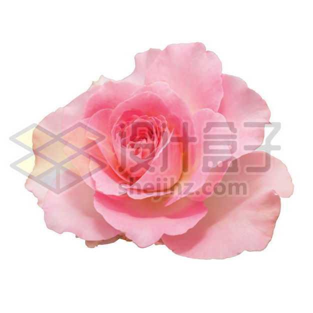 盛开的月季花红色花朵花卉鲜花5786760PSD图片免抠素材