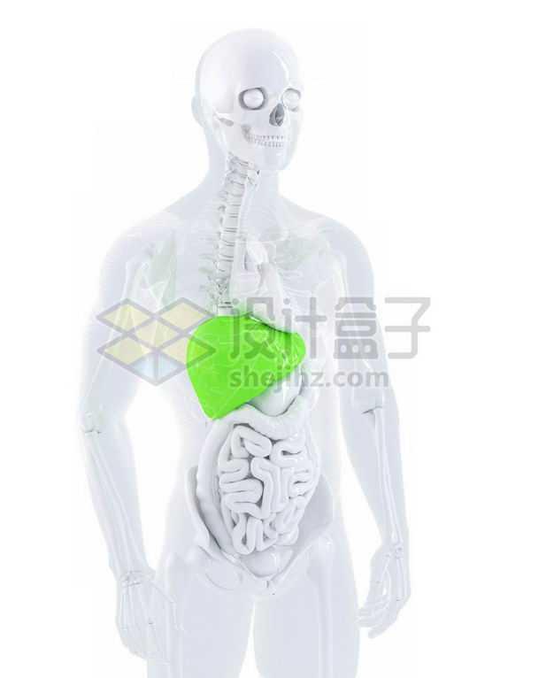 3D立体绿色肝脏心脏肺部大肠小肠等内脏塑料人体模型6716170图片免抠素材