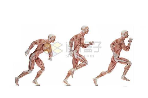 奔跑中的男性人体肌肉模型全身肌肉组织解剖示意图8061677图片免抠素材