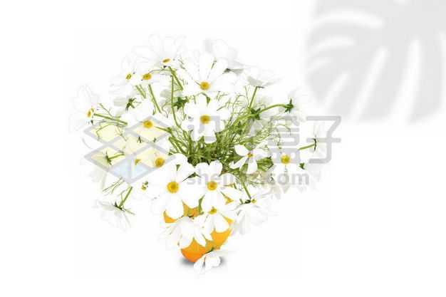 白色秋英花朵室内观赏植物7977119PSD图片免抠素材