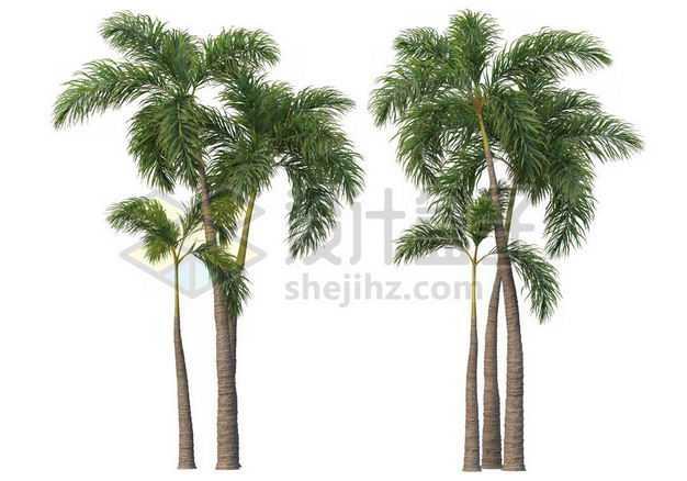 两棵郁郁葱葱的王棕大王椰子树绿植园林植被观赏植物3424527图片免抠素材