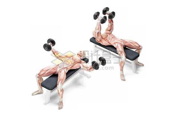 3D立体在哑铃凳上健身锻炼的人体肌肉组织示意图9643629免抠图片素材
