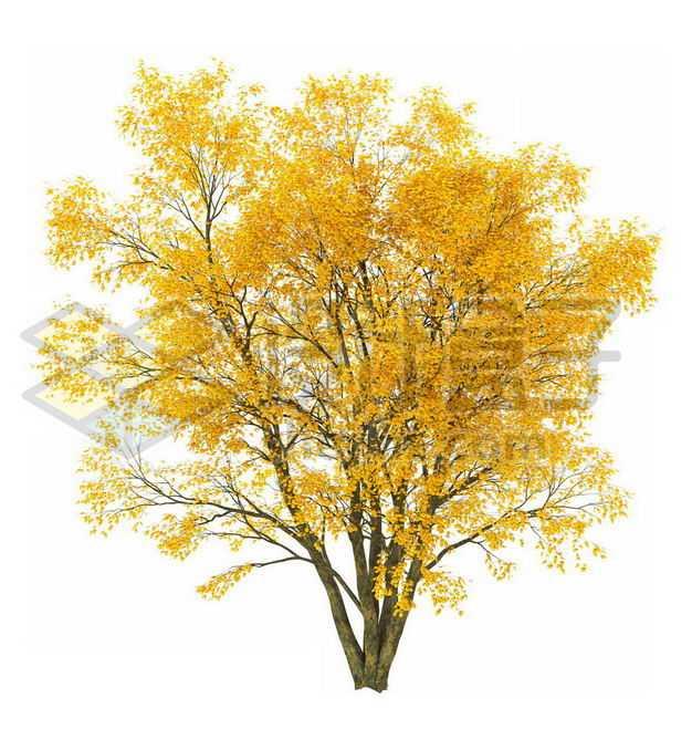 秋天树叶黄了的白蜡树大树8113716PSD图片免抠素材