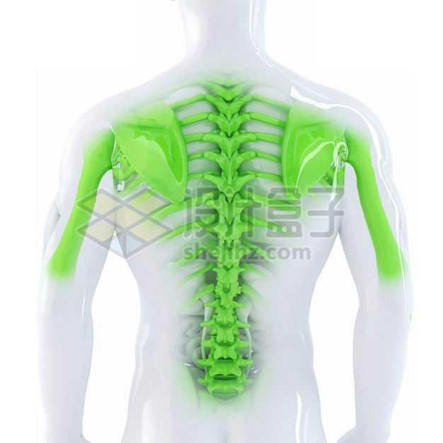 3D立体绿色背部骨架塑料人体模型4738286图片免抠素材