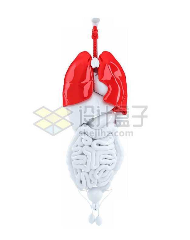 3D立体红色肺部白色肝脏心脏大肠小肠肾脏膀胱等内脏塑料人体模型6942387免抠图片素材