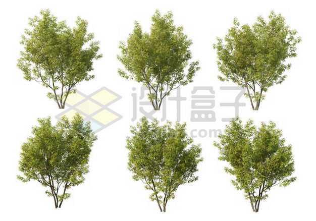 六棵榉树大树树绿植园林植被观赏植物9073734图片免抠素材