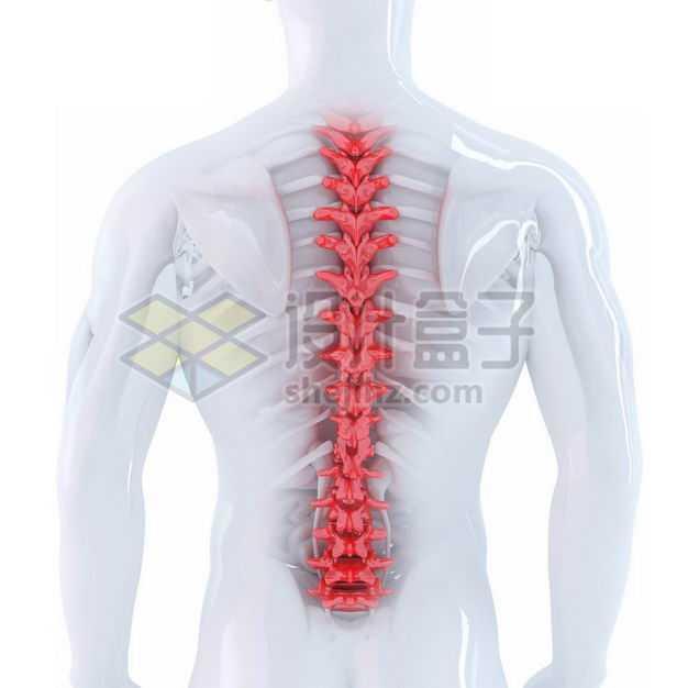 3D立体红色脊椎脊柱椎骨等内脏塑料人体模型2334999免抠图片素材