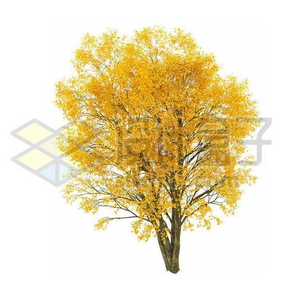 秋天树叶黄了的白蜡树杨树大树6704987PSD图片免抠素材