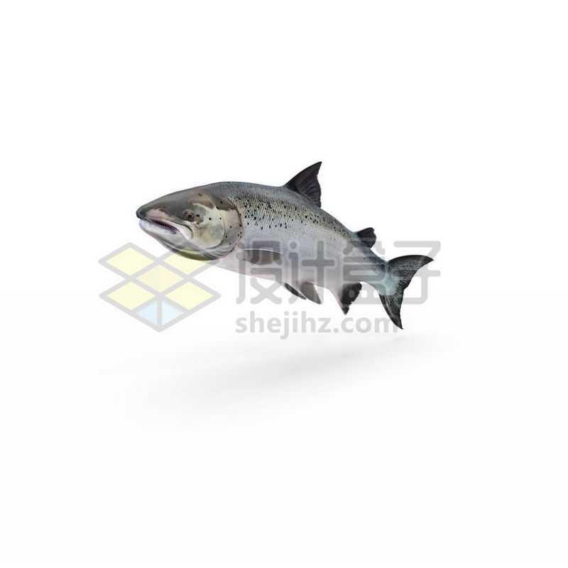 一条逼真的三文鱼大马哈鱼3550651图片免抠素材