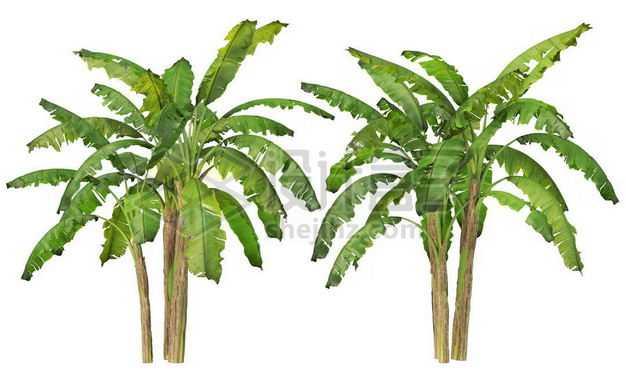 两丛郁郁葱葱的芭蕉树绿植园林植被观赏植物8499977图片免抠素材