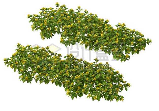 两款木犀灌木丛园林绿植观赏植物园艺植物2365715图片免抠素材