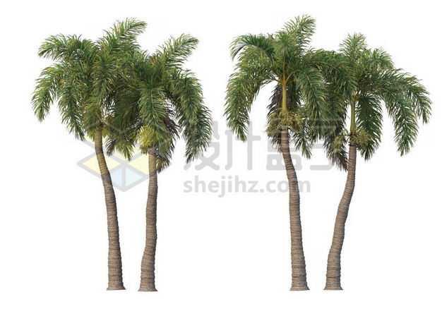 两棵郁郁葱葱的王棕大王椰子树绿植园林植被观赏植物5796504图片免抠素材