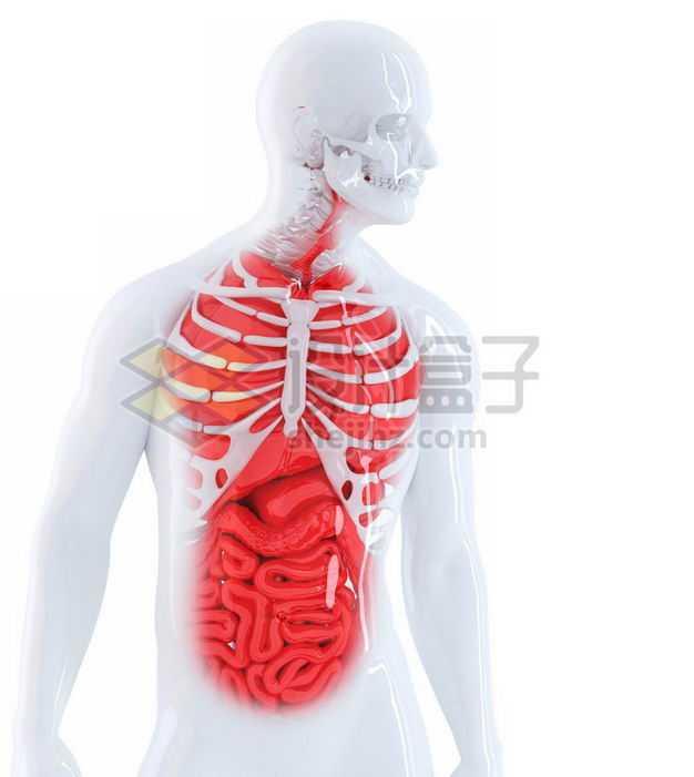 3D立体白色骨架红色肺部心脏肝脏大肠小肠等内脏塑料人体模型5956410免抠图片素材