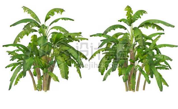 两丛郁郁葱葱的芭蕉树绿植园林植被观赏植物8452169图片免抠素材
