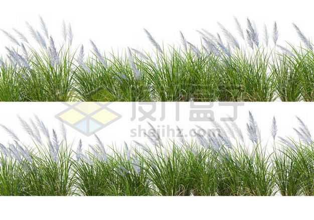 两款斑茅草丛园林绿植观赏植物园艺植物4721129图片免抠素材