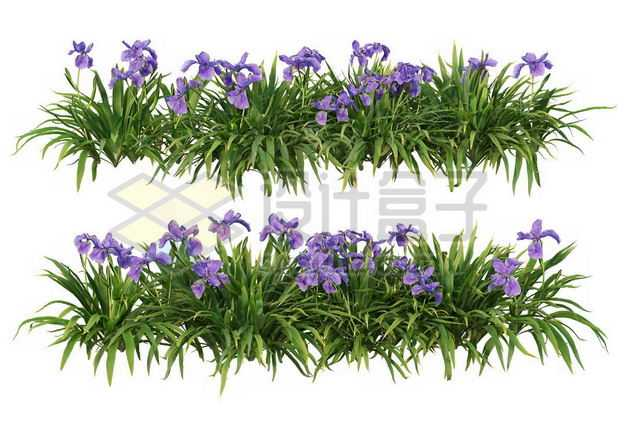 两款花菖蒲花丛花卉花朵鲜花园林绿植观赏植物园艺植物1233572图片免抠素材