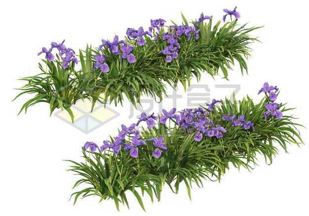 两款花菖蒲花丛花卉花朵鲜花园林绿植观赏植物园艺植物5744730图片免抠素材