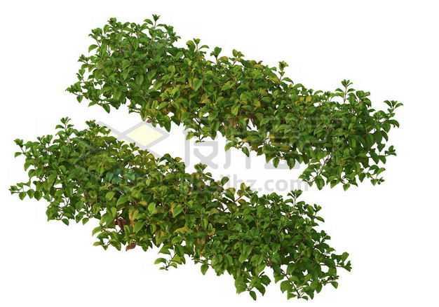 两款茂盛的绿萝园林绿植观赏植物园艺植物3005254图片免抠素材