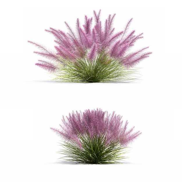 两款3D渲染的粉黛乱子草草丛绿植观赏植物7530301png图片免抠素材