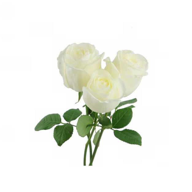 三朵带叶子的白玫瑰花鲜花白色花朵481320png图片免抠素材
