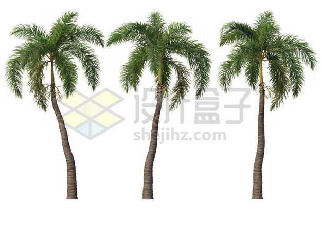 三棵郁郁葱葱的王棕大王椰子树绿植园林植被观赏植物4082915图片免抠素材