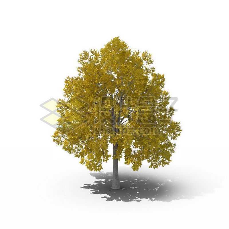 一棵黄色的银杏树景观树木大树9876318图片免抠素材