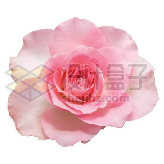 盛开的月季花红色花朵花卉鲜花1984161PSD图片免抠素材