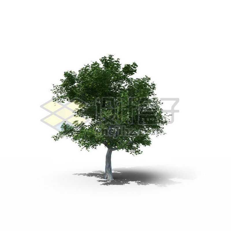 一棵春天夏天的枫杨树景观树木绿色大树1736293图片免抠素材