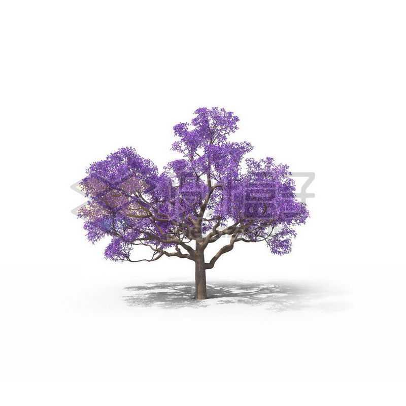 一棵紫色的蓝花楹景观树木大树6016170图片免抠素材