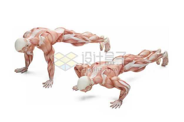 做俯卧撑的男性人体肌肉模型全身肌肉组织解剖示意图4339897图片免抠素材