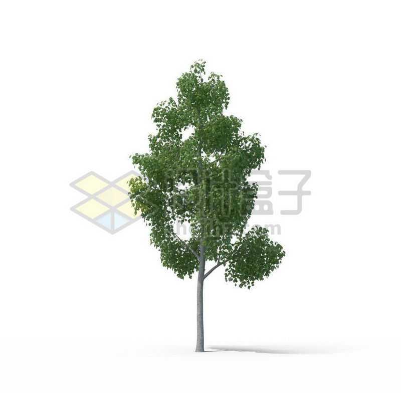一棵绿色的樟树景观树木大树1996406图片免抠素材