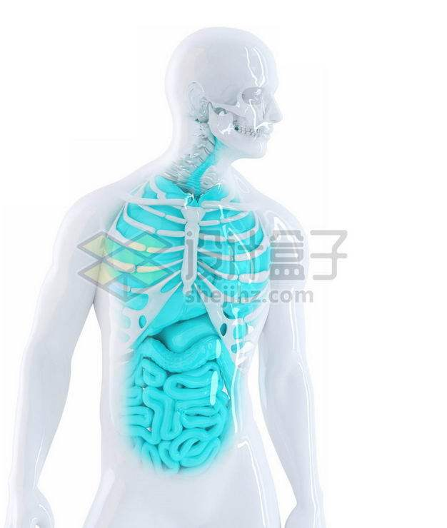3D立体白色胸腔蓝色肺部心脏肝脏大肠小肠等内脏塑料人体模型8714082免抠图片素材