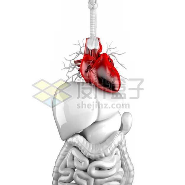 3D立体红色心脏和银灰色肝脏胰脏大肠小肠消化系统等内脏塑料人体模型3820968免抠图片素材