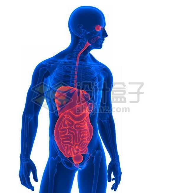 3D立体红色消化系统和蓝色心脏肺部肝脏大肠小肠等内脏塑料人体模型1323315图片免抠素材