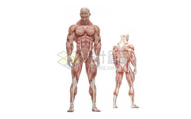 站立的男性人体肌肉模型全身肌肉组织解剖示意图3312097图片免抠素材