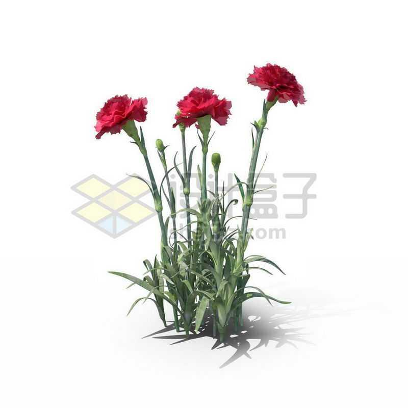 开了三朵红色花朵的康乃馨观赏植物2980796图片免抠素材