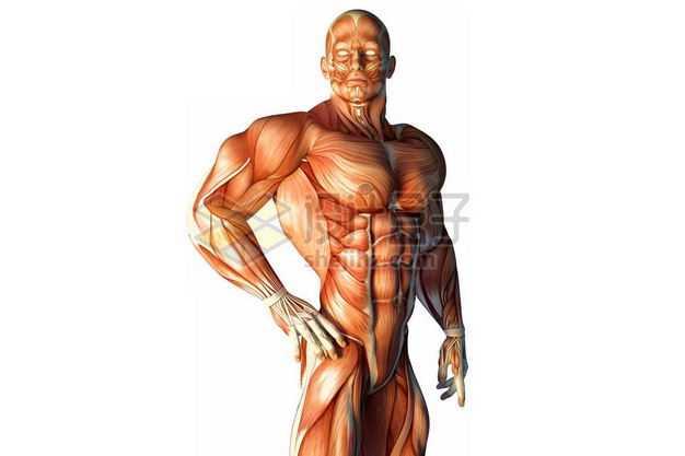 3D立体彩色肌肉塑料人体模型2757334免抠图片素材