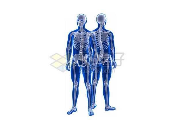 3D立体人体骨骼骨架和蓝紫色人体模型正反面6532350图片免抠素材